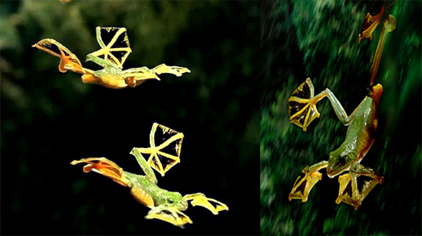 Uniknya Si Flying Frog